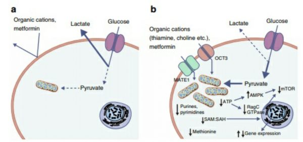 60 years of metformin use: a glance at the past and a look